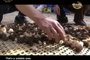 The Morel Fever by the Dadu River