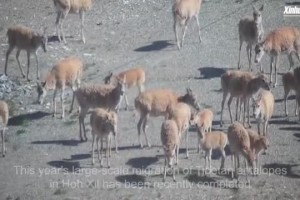 Tibetan antelopes complete annual migration in NW China