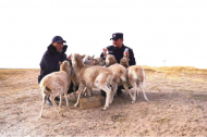 Conservationists work to protect safety of migrating Tibetan antelopes