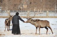 Changchub Lhamo protects red deer for more than 40 years