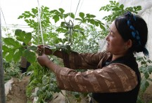 Vegetable greenhouses in Tibet lead local farmers to better life