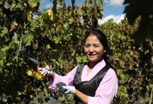 Grapes grow with skill in high-altitude Tibet