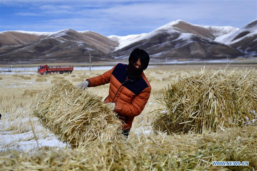 Herdsmen busy storing forages for livestock ahead of winter in Qinghai