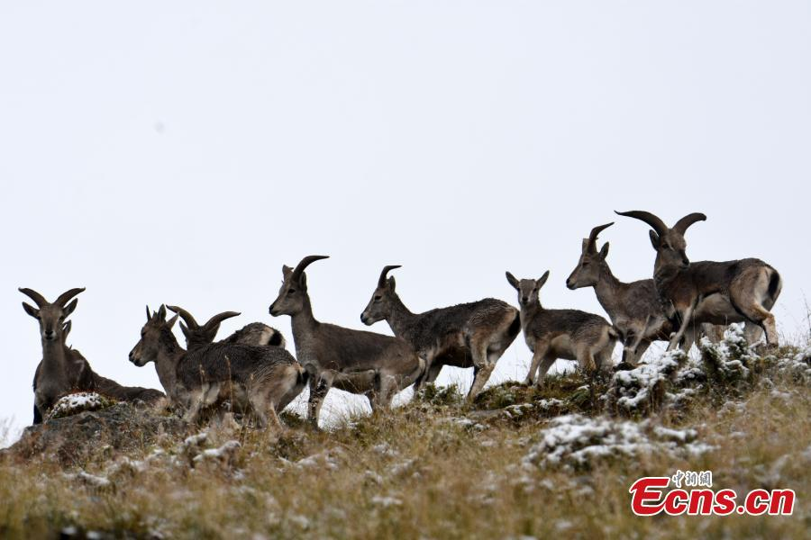 Bharal found in high mountains in Qinghai Province