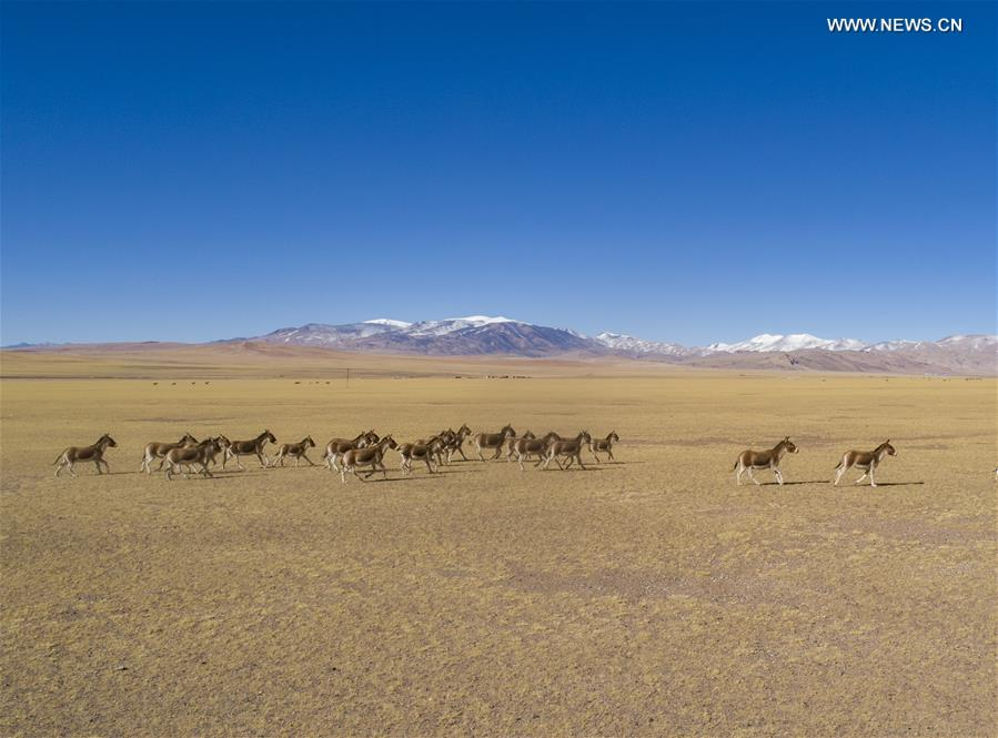 Number of wild animals rises due to improvement of ecological environment in Nagqu, SW China's Tibet