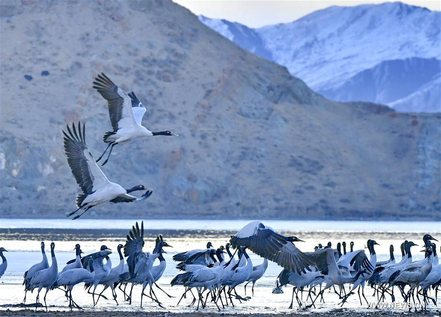 Lhunzhub County, Dagze District in Tibet attract migratory black-necked cranes in winter