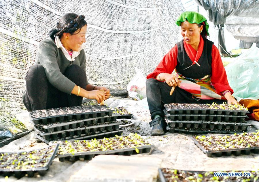 Vegetable industry increases household incomes in Xigaze, Tibet