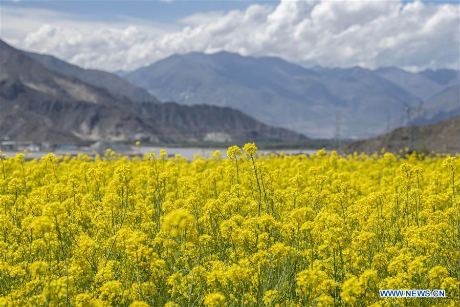 In pics: cole flowers in Lhasa