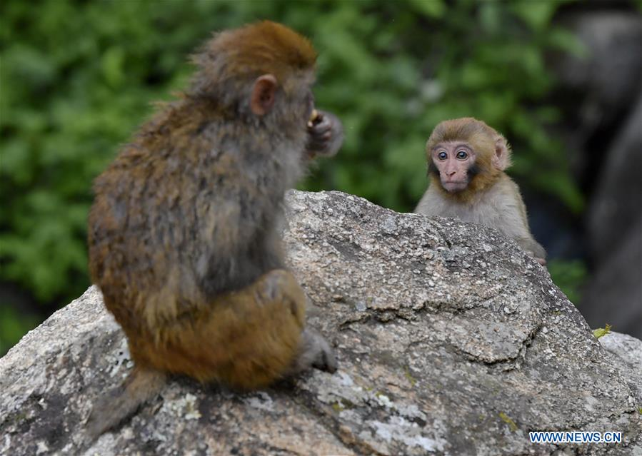 In pics: Tibetan macaques at Dargo gorge in Shannan
