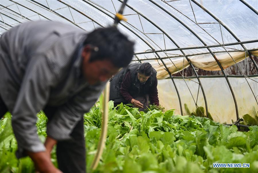 Greenhouse vegetable planting, pig raising developed to increase income of local households in Tibet