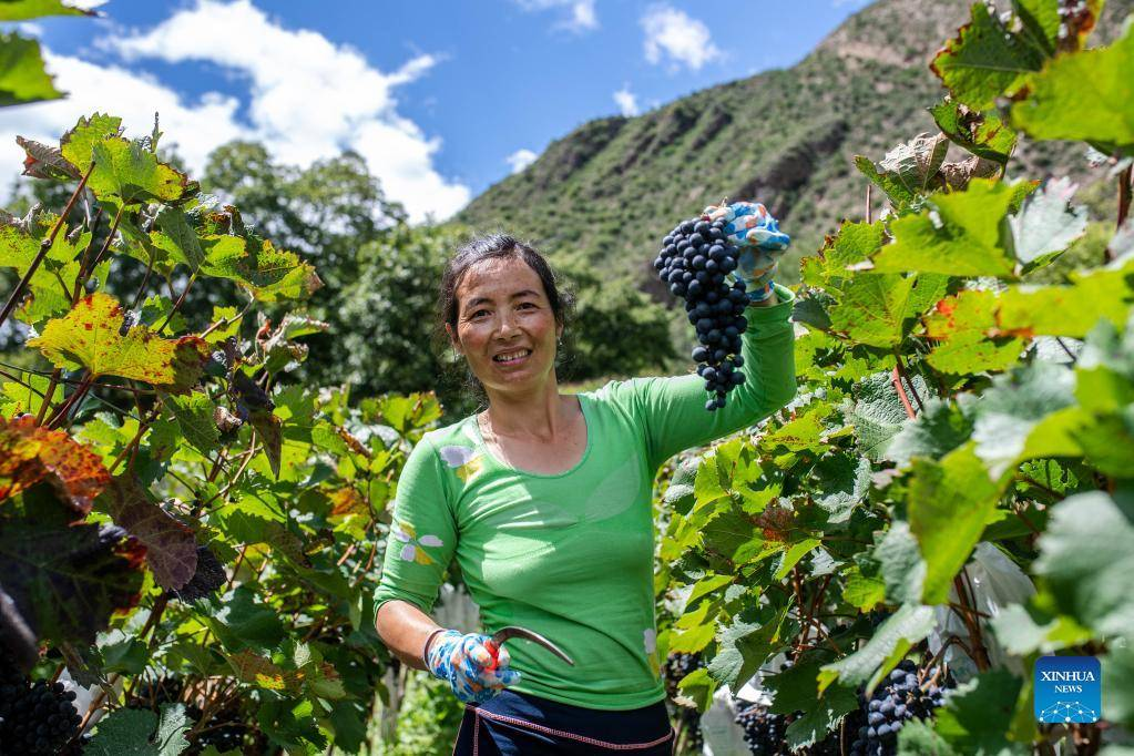 Grape industry boosts local economy in Deqin, China's Yunnan
