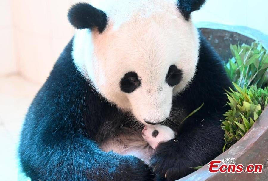 All panda cubs born in 2021 survive at Sichuan base