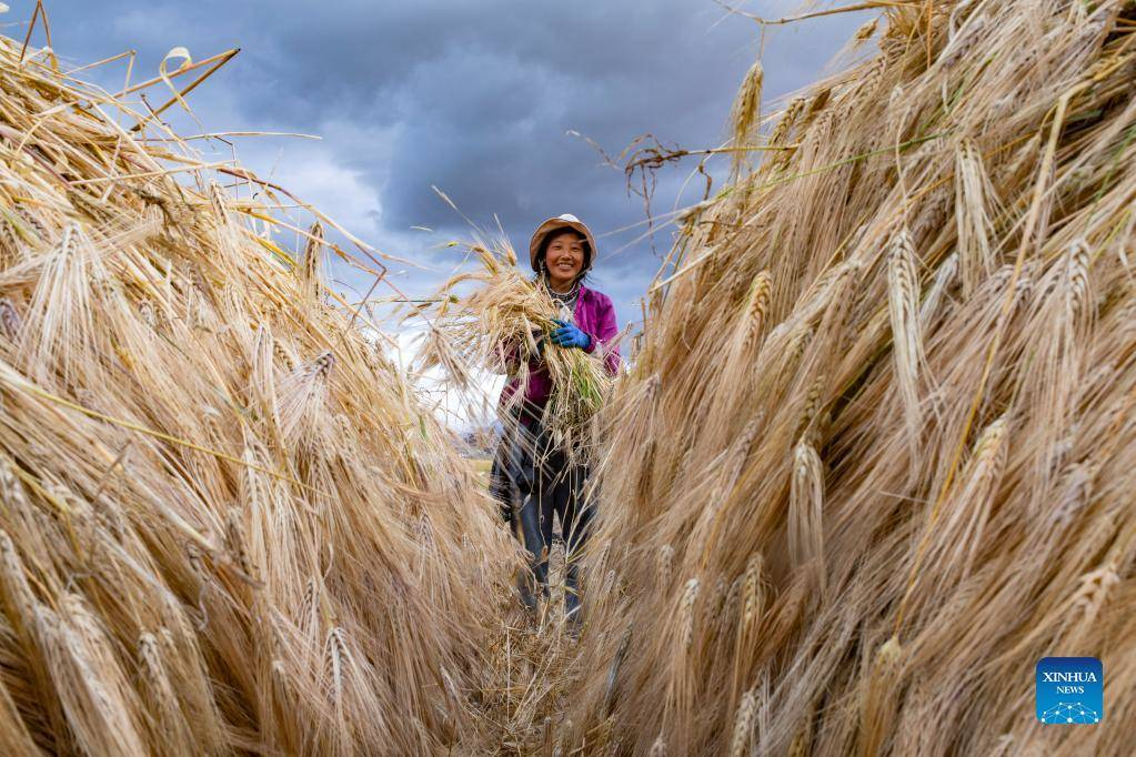Villagers harvest highland barley at Ombu Township in China's Tibet (I)