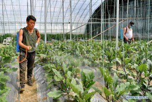 Vegetables no more rarities in Tibet thanks to modern agriculture