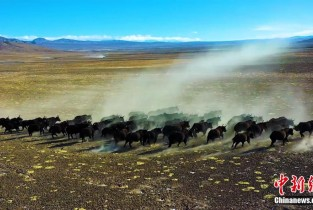 Over 200 wild yaks migrate in groups