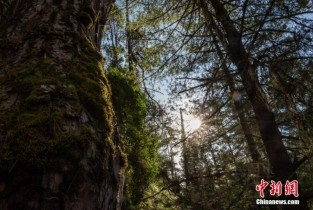 Amazing scenery of Nyingchi spruce forest in Tibet