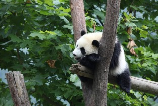 Some moments with pandas at Wolong National Nature Reserve, SW China