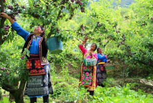 Small fruits drive growth of agricultural industry in Wenchuan, SW China
