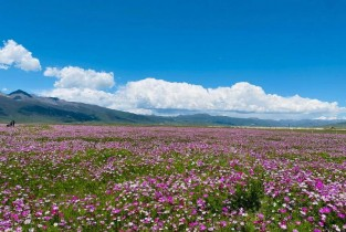 Embrace a sea of galsang flowers in Litang, SW China's Sichuan