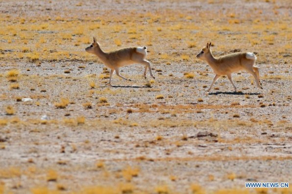 In pics: Tibetan antelopes on Tibetan plateau (II)
